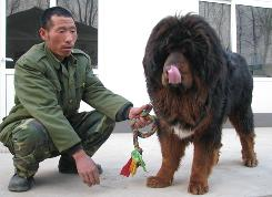 Tibetan Mastiff Dogs,Tibetan Dog,Tibetan Pictures
