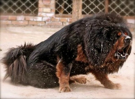 Tibetan Mastiff Dogs,Tibetan Dog,