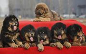 Rare Mastiff Dog Breeds,tibetian mastiff,giant mastiff,tibetan mastiff for sale,tibetan mastiff dogs,tibetan pictures