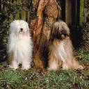 Tibetan Terrier Dog Pictures
