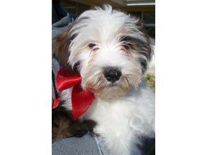 Tibetan Terrier Puppy Dog Pictures