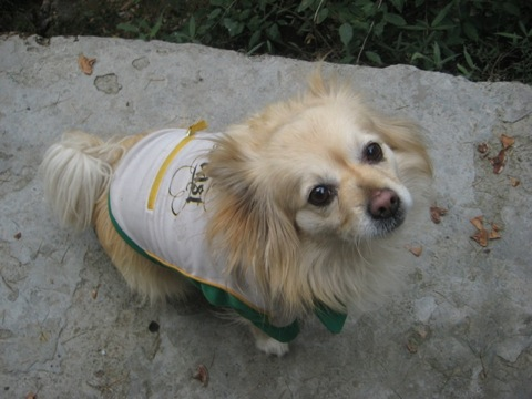 Tibetan Spaniel Dog Pictures