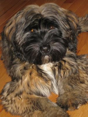 Famous Seamus the Tibetan Terrier