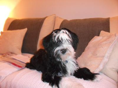 Tibetan terrier dogs are gorgeous!