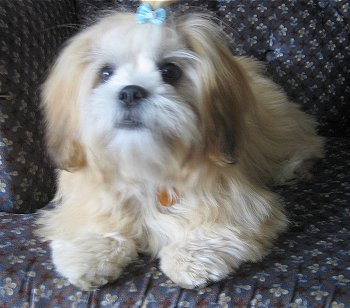 Tibetan Dog Pictures,Tibetan Mastiff Dogs,tibetan picture,tibetan dog