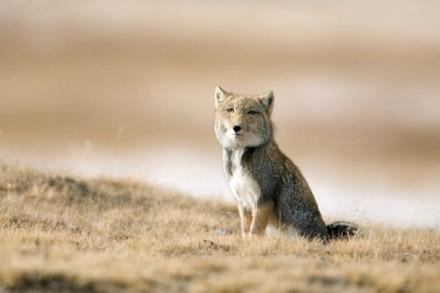 picture-of-a-tibetan-fox-animal.jpg