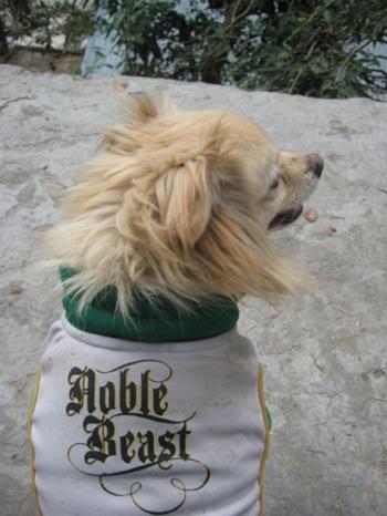 Pictures of Tibetan Spaniel Dog